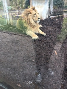 lions at bristol zoo